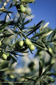 olive0116.jpg