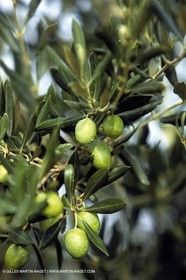 Green Olives-Olive trees