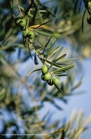 olive0119.jpg