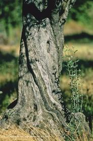 olive0123.jpg