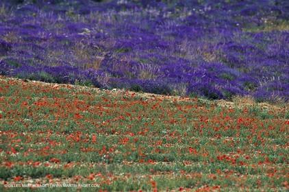 Lavender fields, popppies field